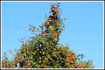 Hawkes Bay Apples